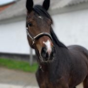 Dressage youngster