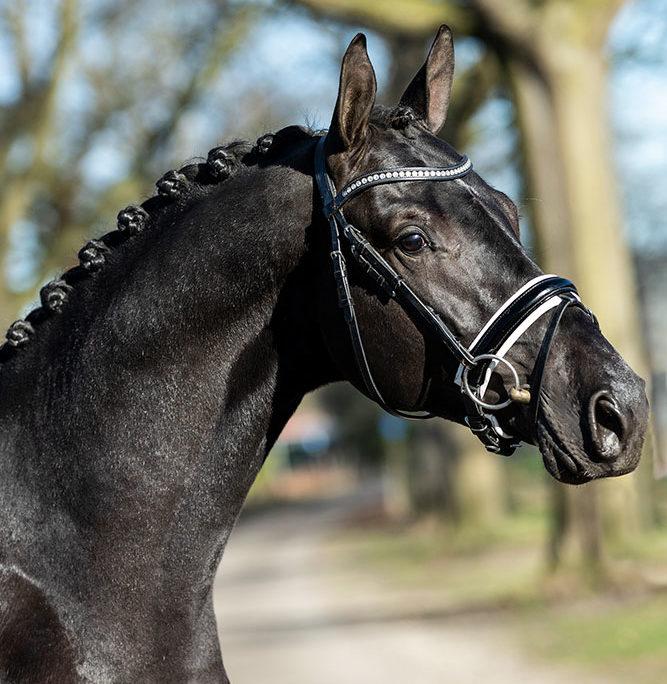 KWPN stallion for sale