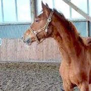Hannoverian filly