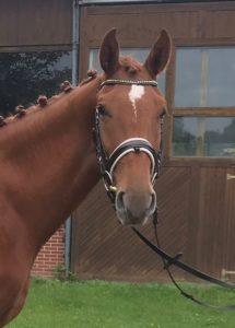 Junges Dressurpferd