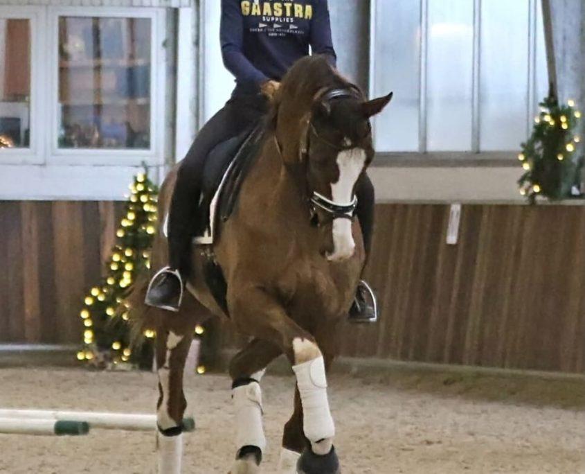 PSG Dressage horse