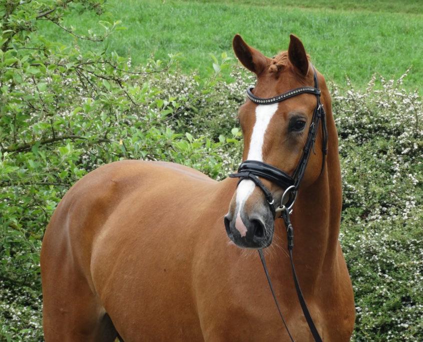 Ausbildungspferd