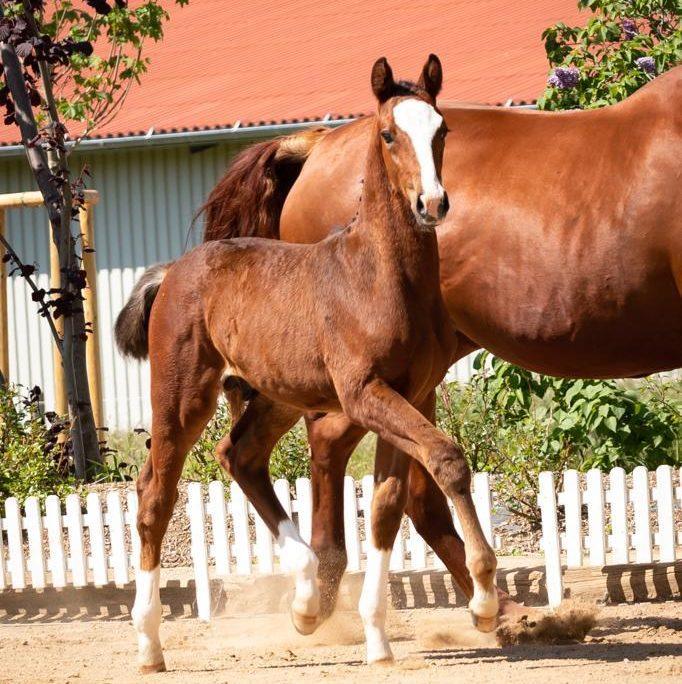 Dressage foal for sale