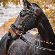 Grand Prix Pferd