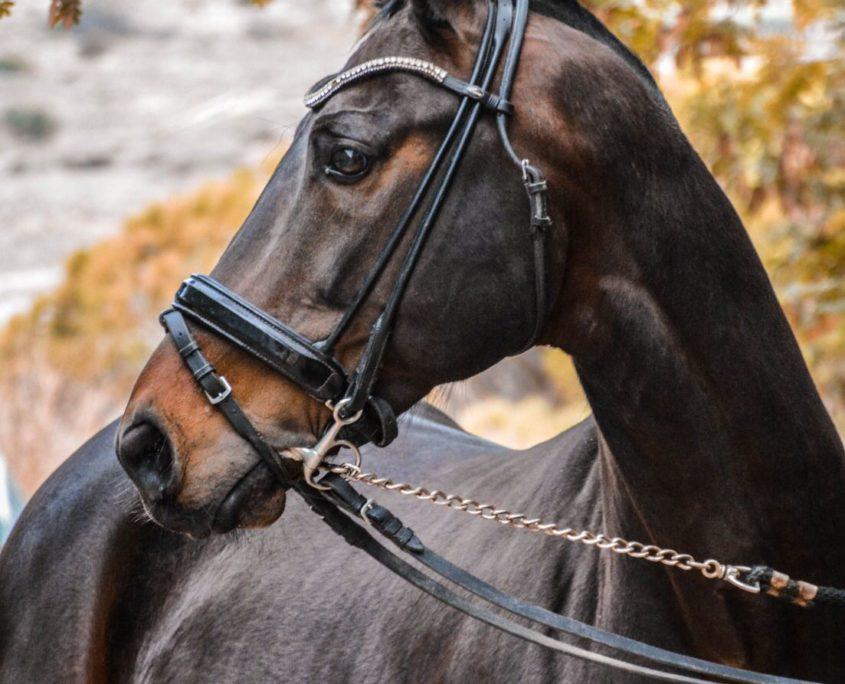 Grand Prix horse